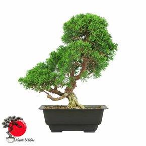 Chinesischer Wacholder - Juniperus Chinensis Itoigawa 35cm