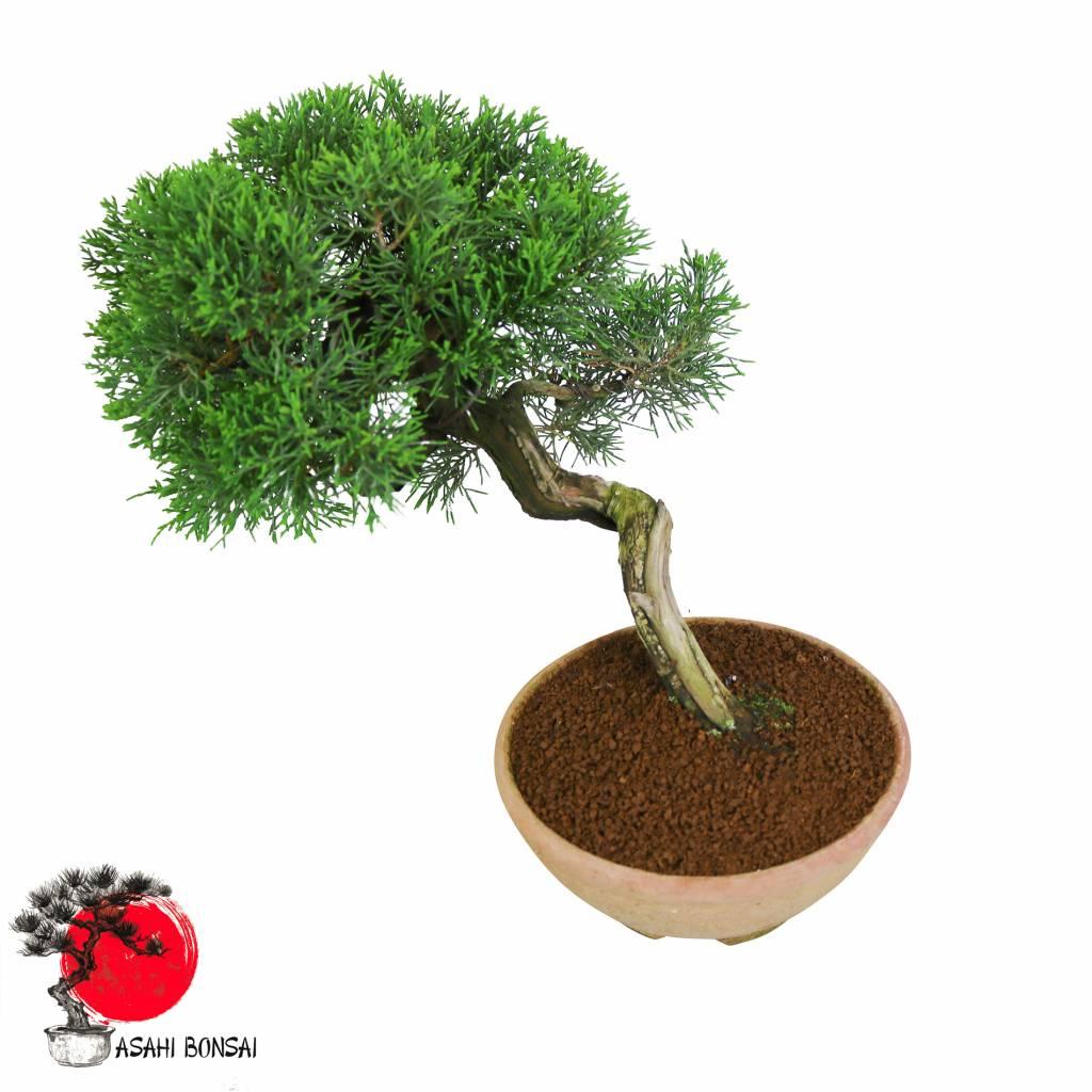 Chinesischer Wacholder - Juniperus Chinensis Itoigawa 30cm