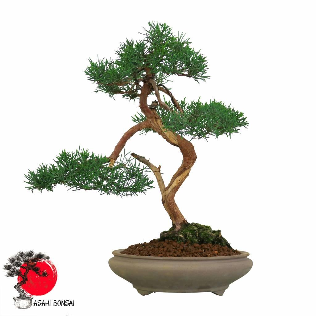 Chinesischer Wacholder - Juniperus Chinensis 40cm