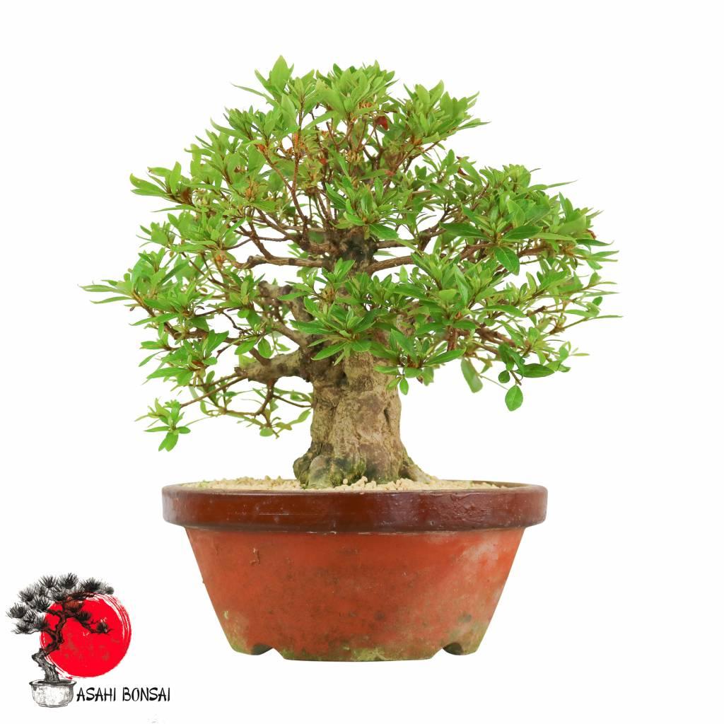 Satzuki Azalee - Rhododendron Indicum 38cm
