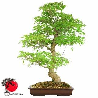 Fächerahorn - Acer Palmatum Seigen 85cm