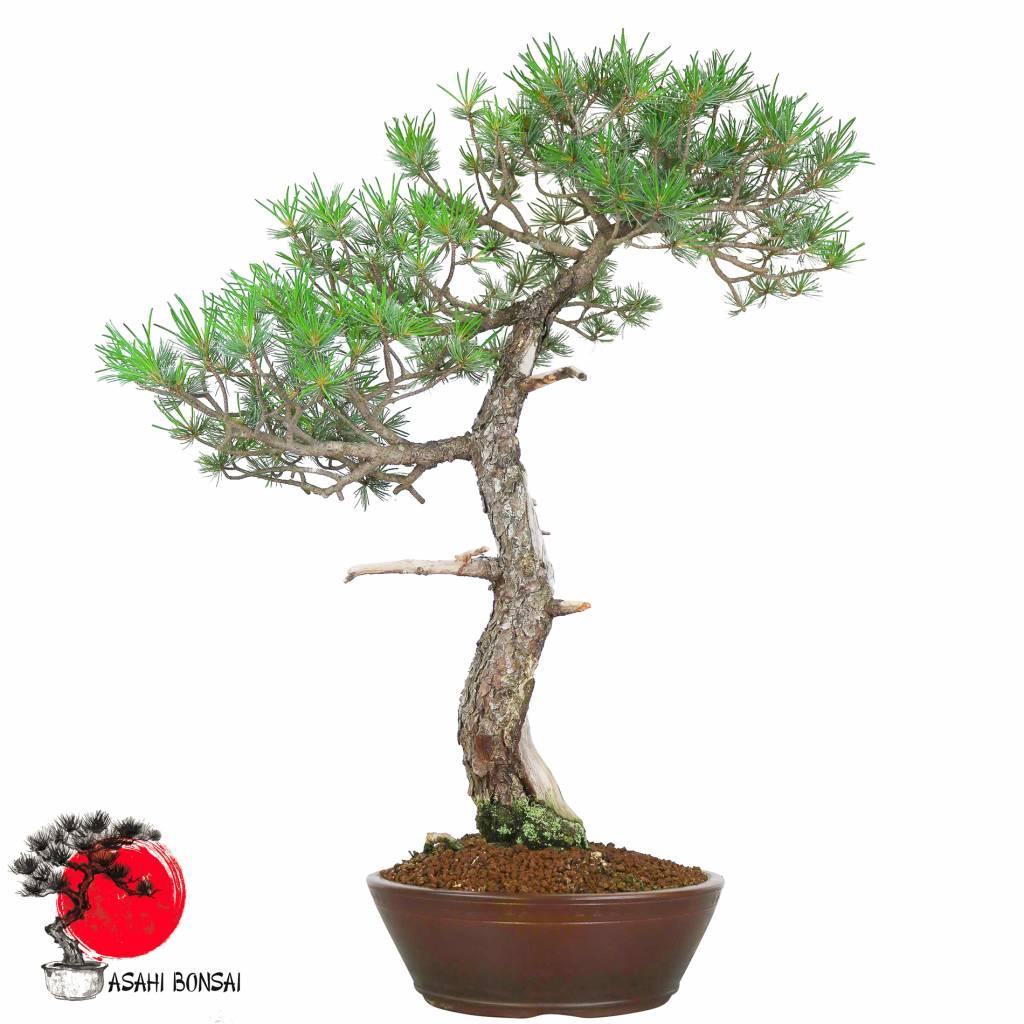 Mädchenkiefer - Pinus Pentaphylla 75cm