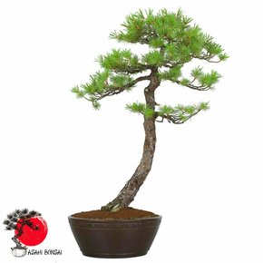Mädchenkiefer - Pinus Pentaphylla 80cm