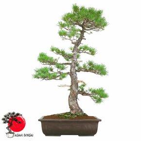 Mädchenkiefer - Pinus Pentaphylla 85cm