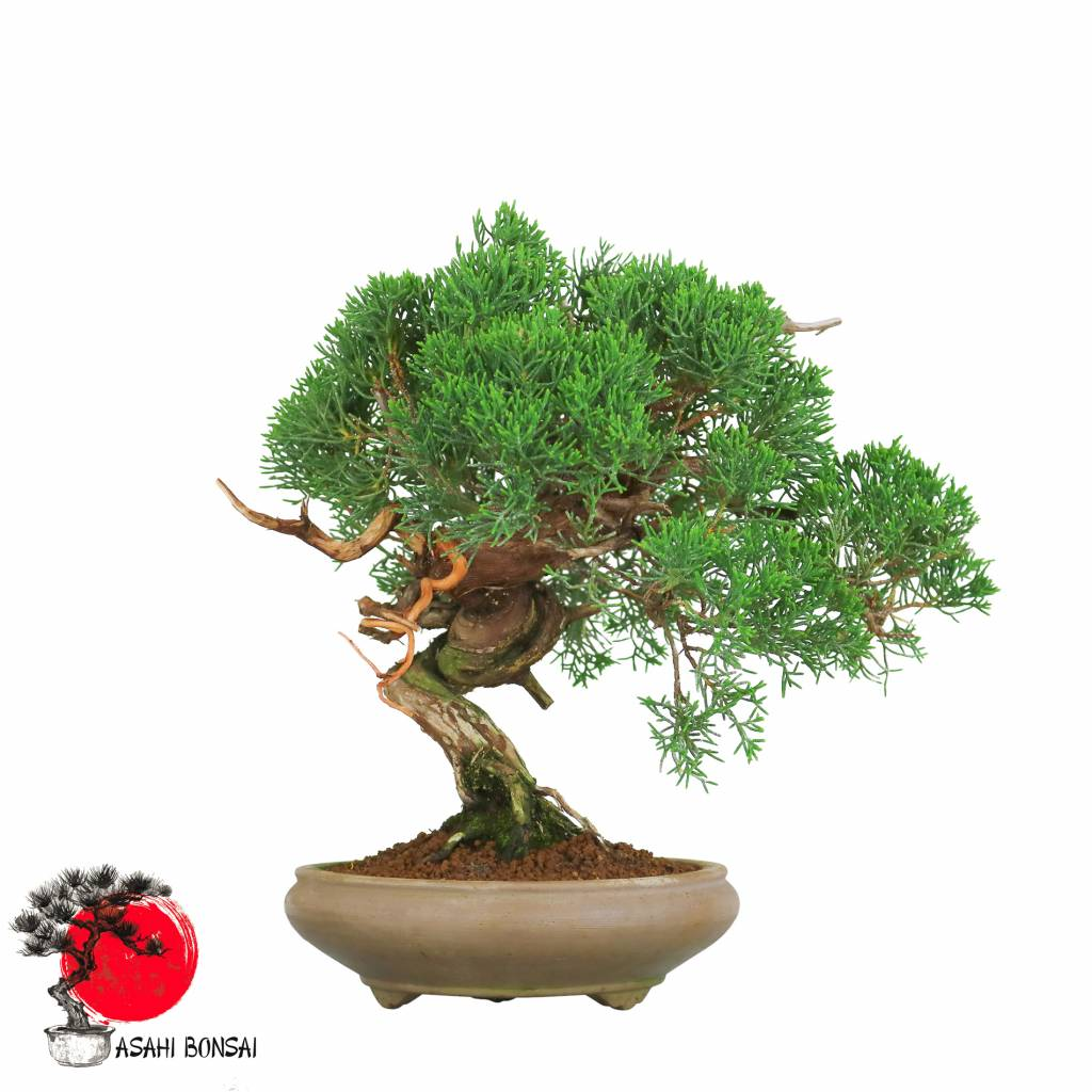 Chinesischer Wacholder - Juniperus Chinensisi Itoigawa 26cm