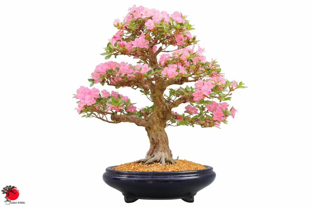 Die Satsuki-Azalee Rhododendron Indicum