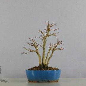 Fächerahorn - Acer Palmatum  26cm