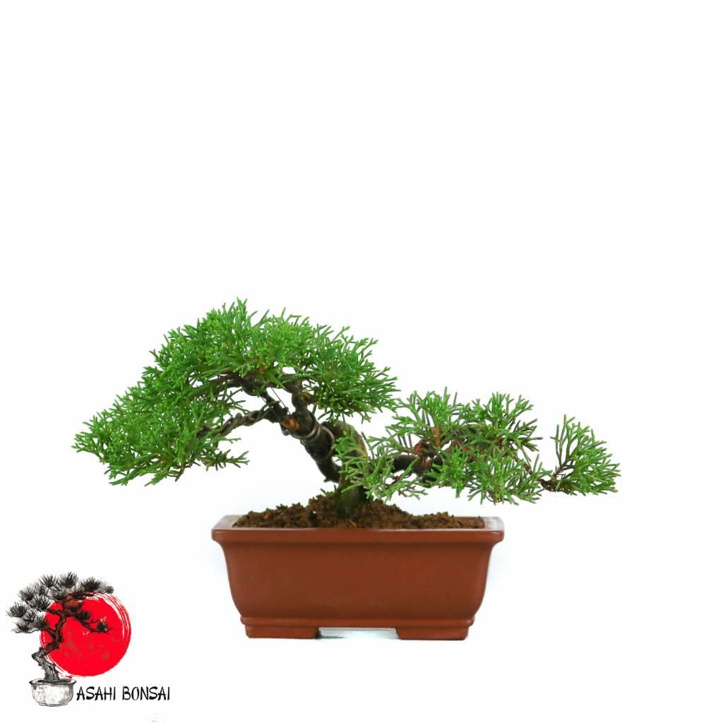 Chinesischer Wacholder - Juniperus Chinensis Itoigawa 15cm