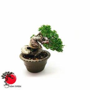 Chinesischer Wacholder - Juniperus Chinensis Itoigawa