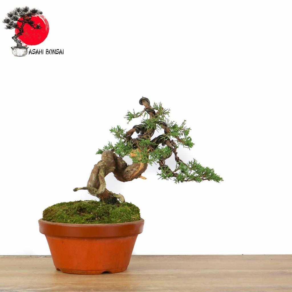 Juniperus Chinensis Itoigawa - Chinesischer Wacholder