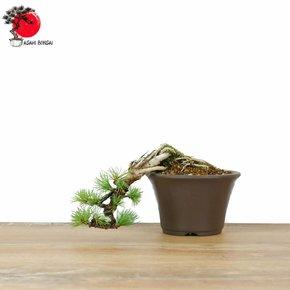 Pinus Pentaphylla - Mädchenkiefer