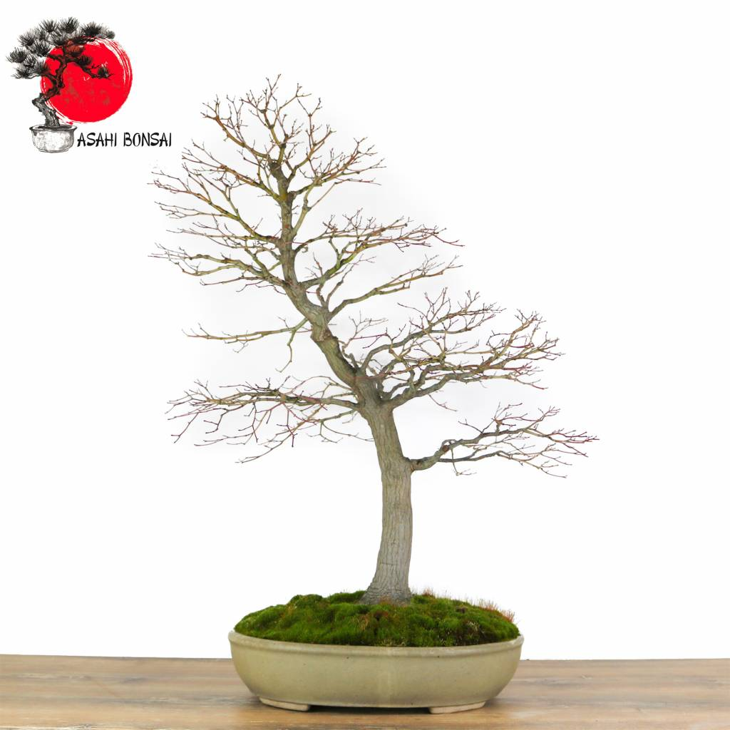 acer palmatum japanischer f cherahorn asahi bonsai. Black Bedroom Furniture Sets. Home Design Ideas