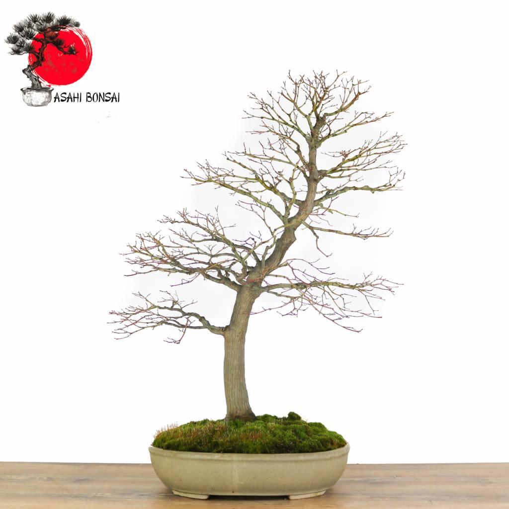 Acer Palmatum- Japanischer Fächerahorn