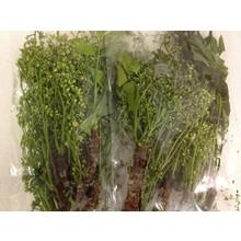 Fresh Import Margosa Flower Sa Dao 100g