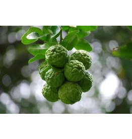 Fresh Kaffir Lime Fruit **NEW LIMITED SUPPLY 1 WEEK DELIVERY TIME**