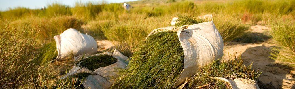 Grote droogte in Zuid-Afrika en schaarsere rooibos