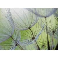 Pusteblumen - Fototapete 254 x 184 cm