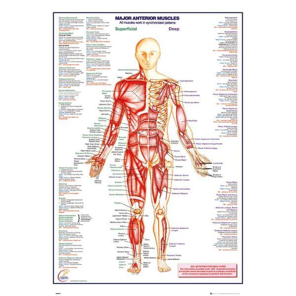 Der Körper Muskulatur vorne | Wandbild - REINDERS!