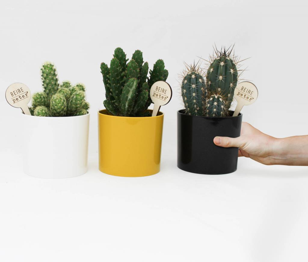 Cactus - uitstekende peter