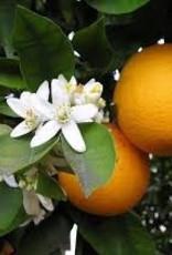 Utsukusy Orangeblossem hydrolate toner lotion