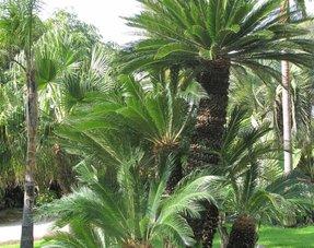Semi-winterharde palmen