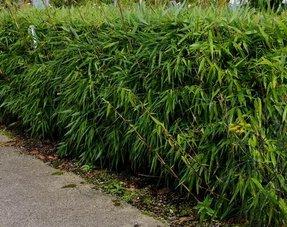 Bamboe Haag