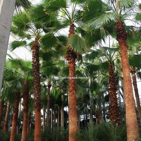 Palmen Washingtonia Robusta Woestijnpalm Kopen