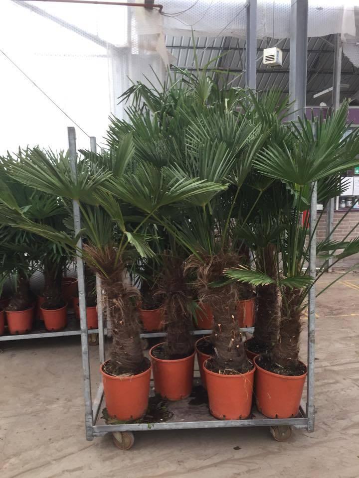 Palmen Trachycarpus Wagnerianus Wagner Palm Kopen