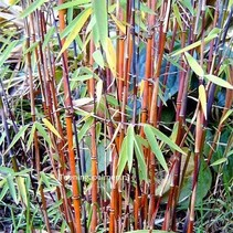 Fargesia jiuzhaigou  Bamboe