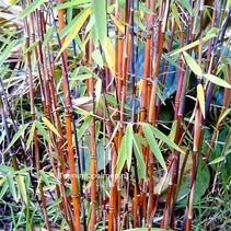 Fargesias jiuzhaigou  Bambus