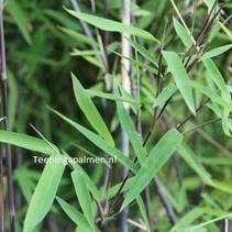 Fargesia nitida Black Pearl Bamboe