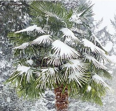 Winterharde palm