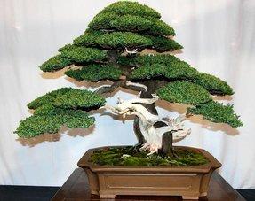 Winterharde Bonsai bomen