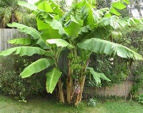 Bananen plants