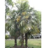 Zaden Trachycarpus Fortunei Zaden Kopen