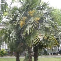 Trachycarpus Fortunei zaden