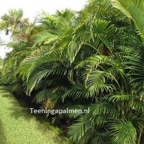 Cat palm zaden