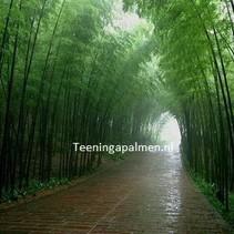 Giant Moso Bamboo zaden