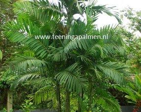 Grote Tropische kamer planten