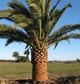 Palmen Phoenix Canariensis Canarische Dadelpalm Kopen