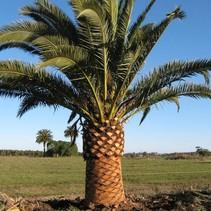 Phoenix Canariensis Canarian Date Palm