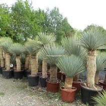 Yucca Rostrata Palmenlilie