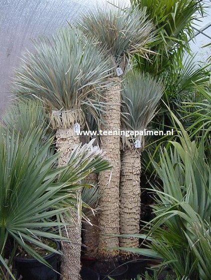 yucca rostrata palm lily teeninga palms. Black Bedroom Furniture Sets. Home Design Ideas