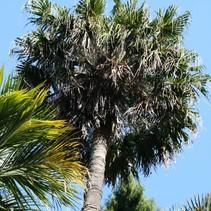 Livistona Chinensis chinesische Bildschirm-Palme