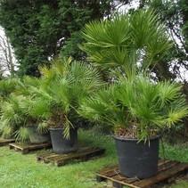 Chamaerops Humilis European Dwarf palm