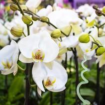 vlinder orchidee (wit)