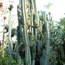 Kaktus Cereus