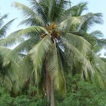 Cocos Nucifera / Coconut palm