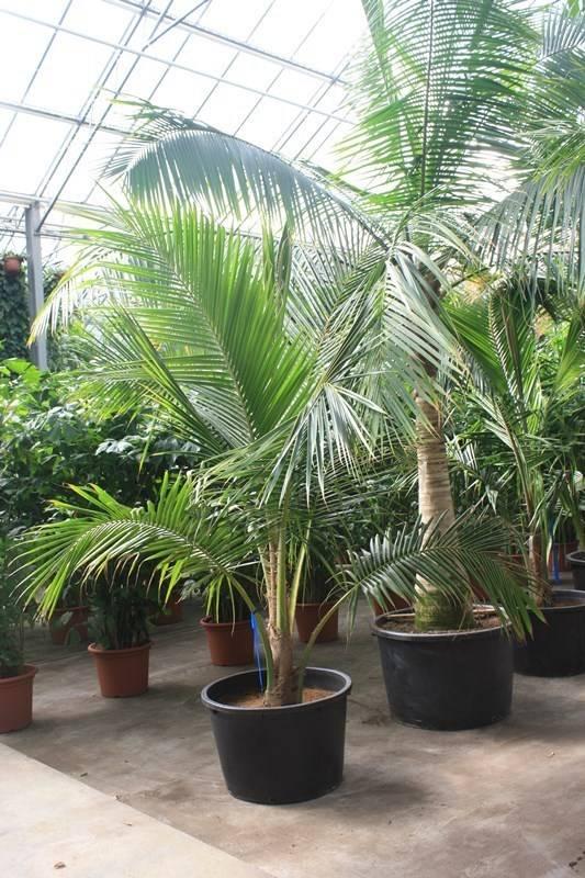 cocos nucifera kokospalm teeninga palmen. Black Bedroom Furniture Sets. Home Design Ideas