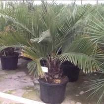 Verhuur palm  JUBAEA CHILENSIS KOKOSPALM VAN CHILI